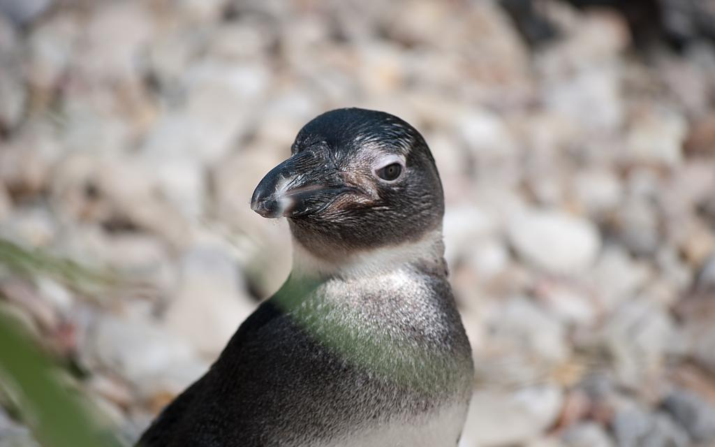 African Penguin by Mike150 in Member Albums