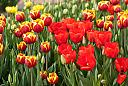 Tulip Fest 2011 by Mike150 in Member Albums