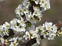 bee on blossom by haleh in Member Albums