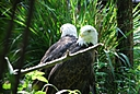 Bald Eagles by Jim Maguire in Member Albums