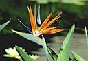 Bird of Paradise by Jim Maguire