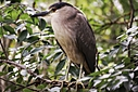 Black Crested Night Heron by Jim Maguire in Member Albums