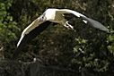 Wood Stork by Jim Maguire in Member Albums