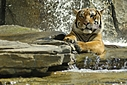 Tiger 2 by Jim Maguire in Member Albums