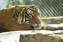 Tiger 3 by Jim Maguire in Member Albums