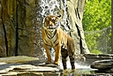 Tiger 4 by Jim Maguire in Member Albums