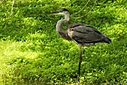 Tricolored heron by Jim Maguire in Member Albums
