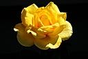 Yellow Rose by Jim Maguire in Member Albums