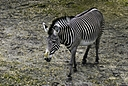Zebra by Jim Maguire in Member Albums