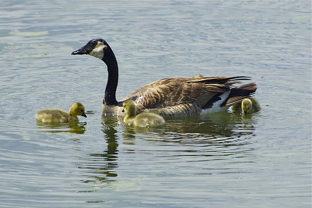 Goslings by Woodyg3 in Member Albums