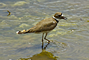 Killdeer by Woodyg3 in Member Albums