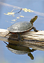 Turtle on Log by Woodyg3 in Member Albums