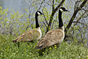 Pair of Geese by Woodyg3 in Member Albums