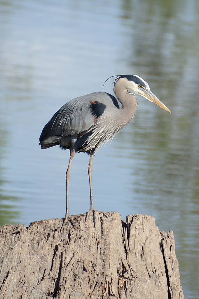 Blue Heron by Woodyg3 in Member Albums
