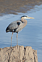 Blue Heron 2 by Woodyg3 in Member Albums