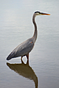 Blue Heron 3 by Woodyg3 in Member Albums
