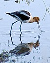 Avocet by Woodyg3 in Member Albums