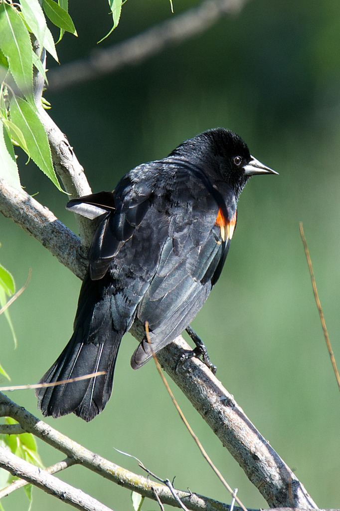 Red Wing Blackbird by Woodyg3 in Member Albums