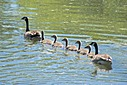Goslings in a Row by Woodyg3 in Member Albums