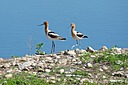 Avocet Pair by Woodyg3 in Member Albums
