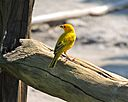Saffron Finch by Woodyg3 in Member Albums