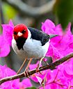 Yellow Billed Cardinal by Woodyg3 in Member Albums