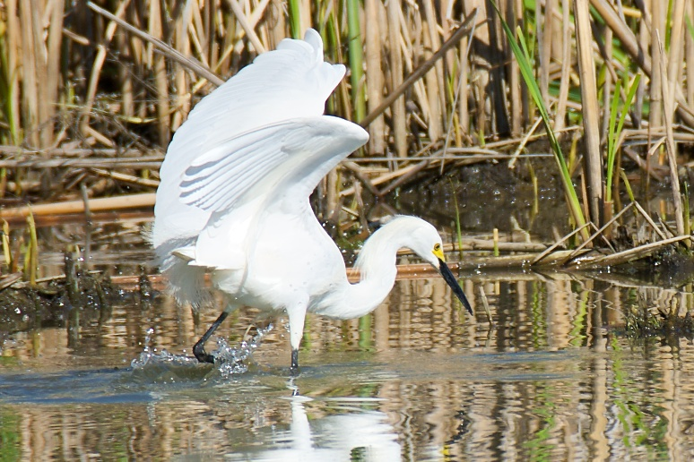 Snowy Egret 1 by Woodyg3 in Member Albums