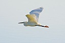 Snowy Egret 2 by Woodyg3 in Member Albums
