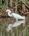 Snowy Egret 3 by Woodyg3 in Member Albums
