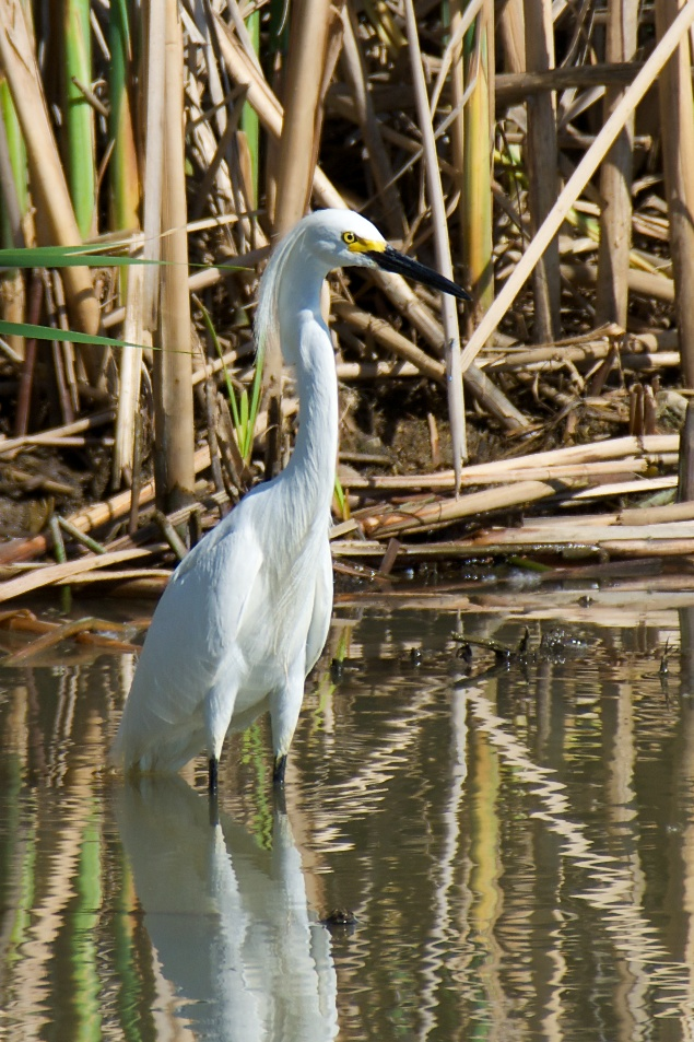 Snowy Egret 4 by Woodyg3 in Member Albums