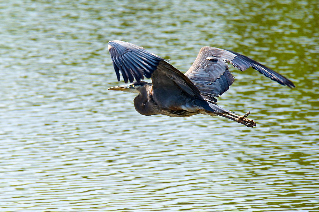 Heron Flight by Woodyg3 in Member Albums