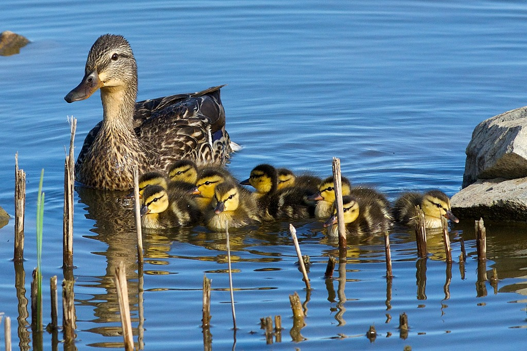 Mama Mallard by Woodyg3 in Member Albums