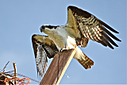 Osprey2 by Woodyg3 in Member Albums