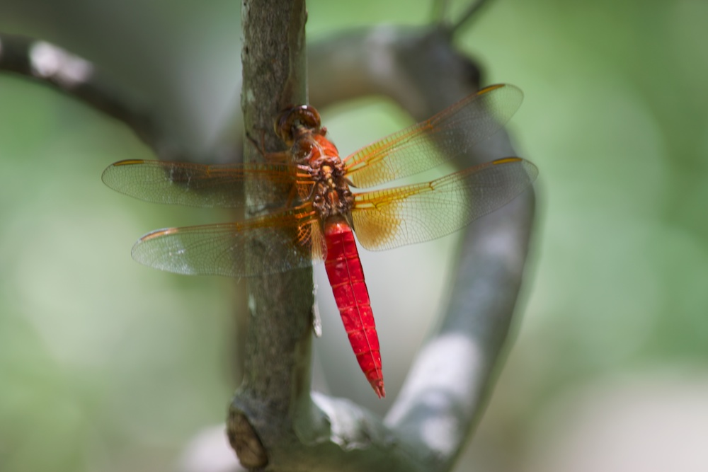 dragonfly1 1 by RocketCowboy in D5300 First Pics