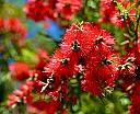 Flaming Bottle Brush Tree by Laurie Anne King in Wildlife and Nature