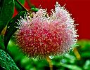 Candy Floss Flower! by Laurie Anne King in Wildlife and Nature