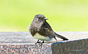Black Phoebe by Dawg Pics in Member Albums