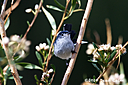 blue gray gnatcatcher n fr 500 1746 by Dawg Pics in Member Albums