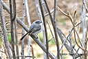 blue gray gnatcher fr 500 1789 by Dawg Pics in Member Albums