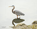 Blue Heron by Dawg Pics in Member Albums