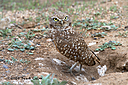 burrowing owl n hr 500 1851