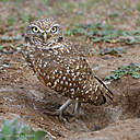Burrowing Owl in Menifee, CA by Dawg Pics in Member Albums