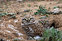burrowing owls n hr 500 1832