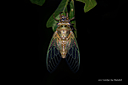 Cicada by Dawg Pics in Member Albums