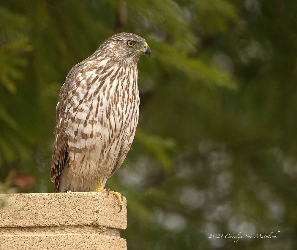 Cooper's Hawk 2 by Dawg Pics in Member Albums