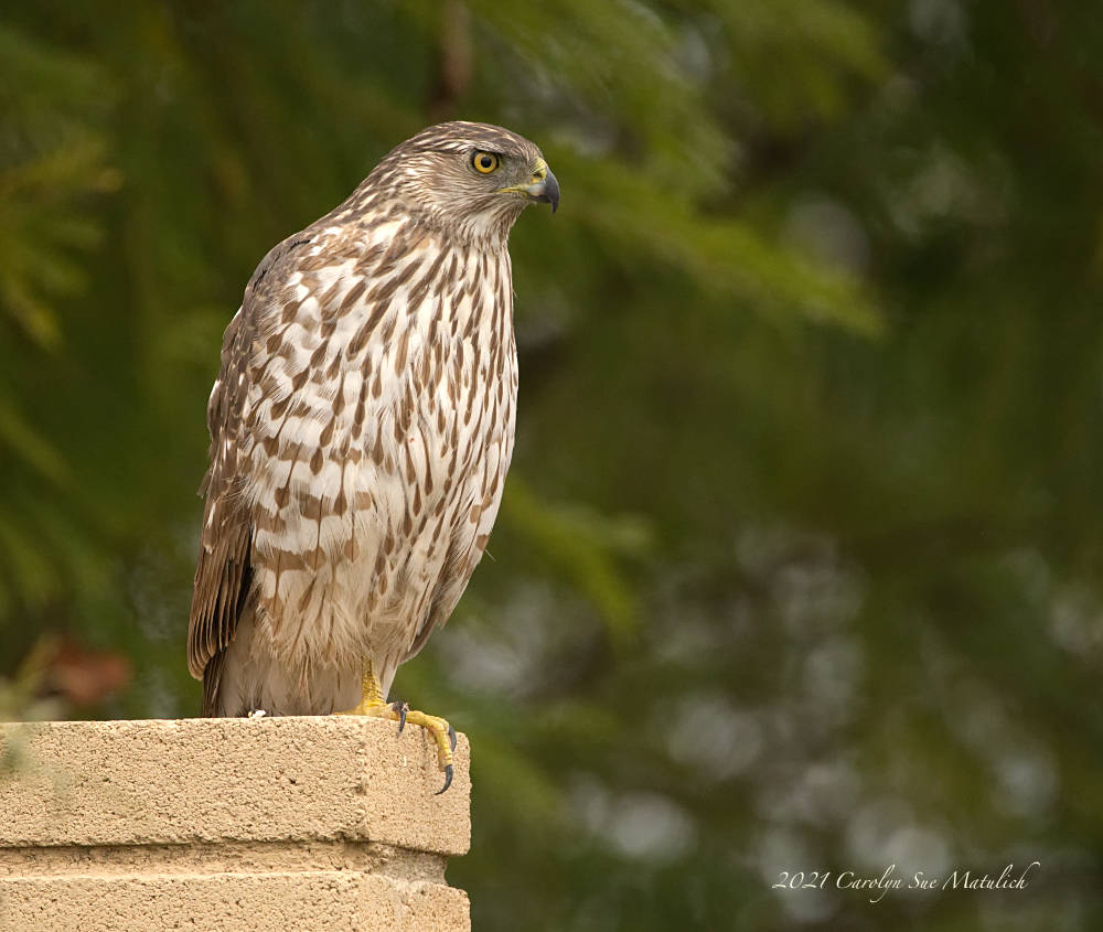 Cooper's Hawk by Dawg Pics in Member Albums