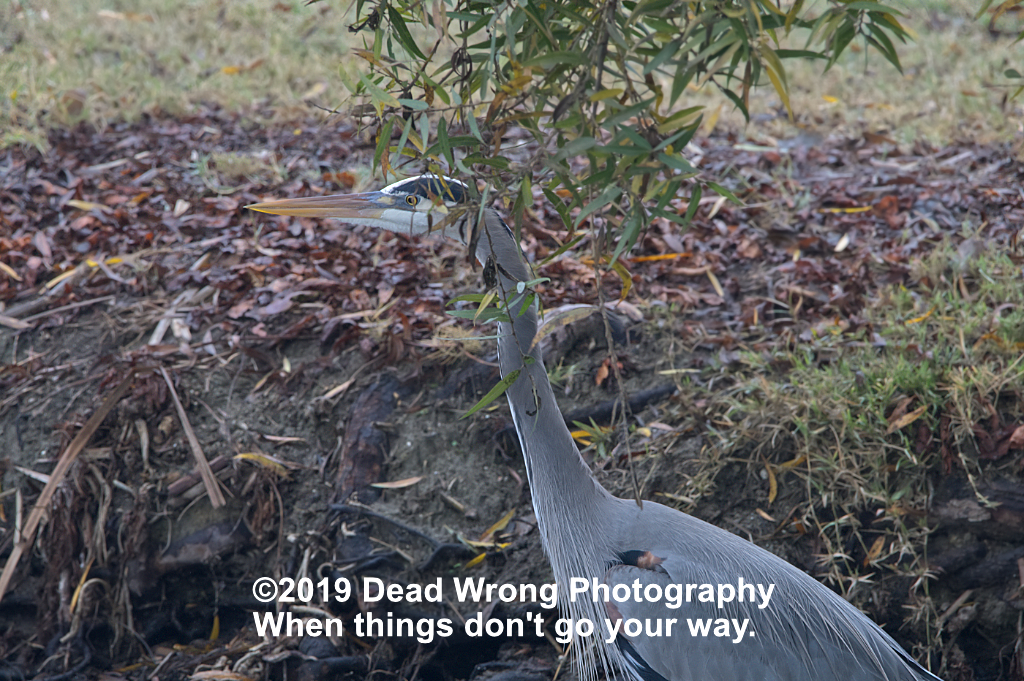 dead wrong heron n 500 0491 by Dawg Pics in Member Albums