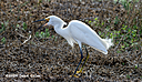 egret n hr 500 1694 by Dawg Pics in Member Albums