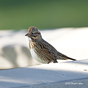 Lincoln's Sparrow by Dawg Pics in Member Albums