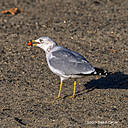 Seagull by Dawg Pics in Member Albums